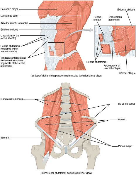 muschii abdomenului, beneficii abdomene, abdomene, abs